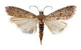mediterranean-flour-moth