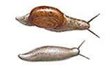 slugs-and-snail