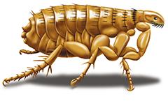 cat flea picture